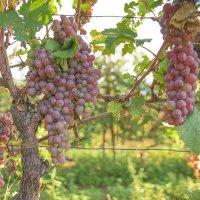 Из альбома Грузия. Кахетия - виноградная отрада. :: Татьяна