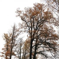 Клён в Ленобласти :: Наталья Золотых-Сибирская
