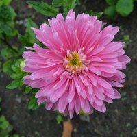 Розовая звезда. :: zoja
