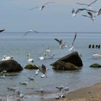 Лебеди на Балтийском море :: Анастасия Смирнова