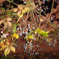 Дикий виноград :: Аlexandr Guru-Zhurzh