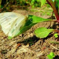 последние бабочки этого бабьего лета :: Александр Прокудин