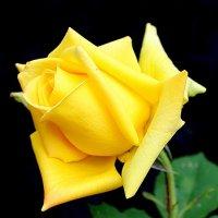 Роза. :: Larisa