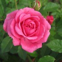 Роза :: Ann Ny