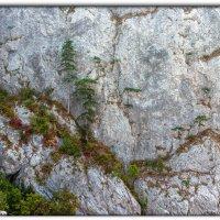 и на камнях растут . . . :: Sergey Bagach