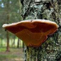 Древесный гриб :: Милешкин Владимир Алексеевич