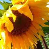 Солнце-подсолнух ! :: НАДЕЖДА КЛАДЧИХИНА