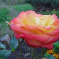 Осенняя роза :: Анатолий