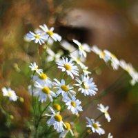 Цветы сентября... :: Светлана Карнаух