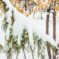 снег на лиственнице :: Иван