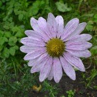 Осенний цветок. :: zoja