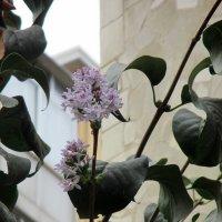 Конец сентября, сирень цветет! :: Наталья Пономаренко
