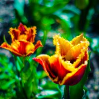 тюльпаны :: Dimitry Zholkov