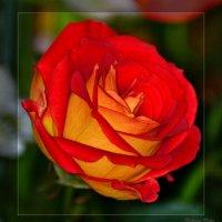 Опять цветочки! :: Виктор Филиппов