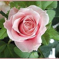 Комнатная роза :: Вера