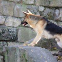 Собаки -3. :: Руслан Грицунь
