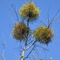 Омела - паразит на деревьях. :: Татьяна ❧