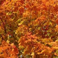 Осенние клёны... :: Владимир Павлов