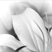 Белая лилия. :: Олег Кузькин