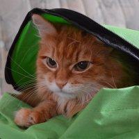 Рыжий кот в рюкзаке :: Ксения Валерьевна