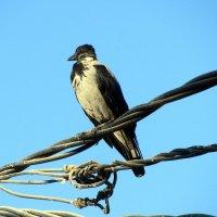 ворона наблюдатель за порядком :: Герович Лилия
