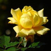 Желтая роза :: Наталья (Nata-Cygan) Цыганова
