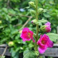 Мальвы это - не розы, но всё же, сколько в скромности их красоты! :: Валентина ツ ღ✿ღ