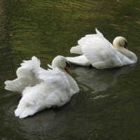 Пара лебедей :: Maribago Maribago