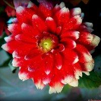 Последние цветы осени :: Андрей Заломленков