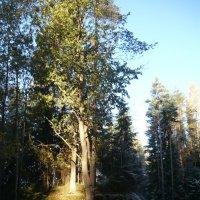 Деревья на дзоте :: Вера Щукина