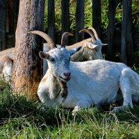 Поселковые козы греются на солнышке, пока ещё символ года. :: Пётр Сесекин