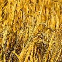 Пшеница созрела :: Алексей Желтухин