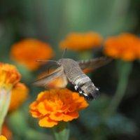"""Бабочка """"колибри"""" :: Николай Ярёменко"""