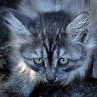 Дикий кот :: Людмила (Руца)