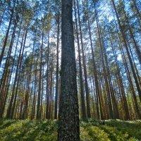 стройный лес :: Елена