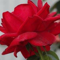Розы октября...3 :: Тамара (st.tamara)