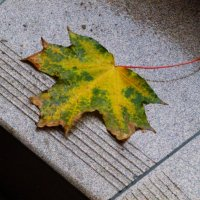 Осенний лист сорвался с клёна..... :: Galina Leskova