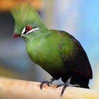 Хохлатая птаха - Турахо :: *****BUV *****