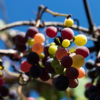 Разноцветный виноград :: Evelina Alevina