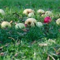 Яблоки на траве... :: Ирина Шарапова