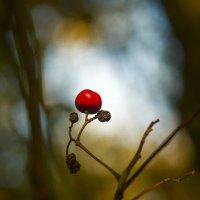 Последние ягоды :: Дмитрий Сорокин