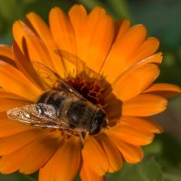 Последняя пчелка :: Татьяна Симонова
