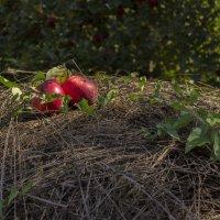 Яблоки на сене :: Yana Ortman