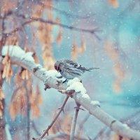 Опять снег… грустит чечётка :: Оксана Арискина