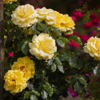 « Роза желтая,роза чайная  Аромата необычайного. … » :: Андрей Нибылица