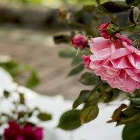 Розы в снегу....... :: Игорь Егоров
