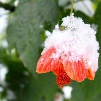 Цветы под первым снегом :: Tanyana Zholobova