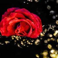 rose :: Irina Raizwoll