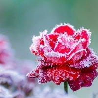 Хрустальная роза :: Максим Рублев