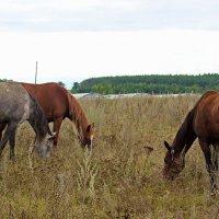 Ходят кони .... :: Маргарита ( Марта ) Дрожжина